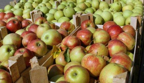 Proizvodnja jabuka u Hrvatskoj u drastičnom padu