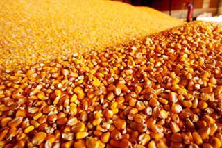Država kupuje 50.000 tona kukuruza
