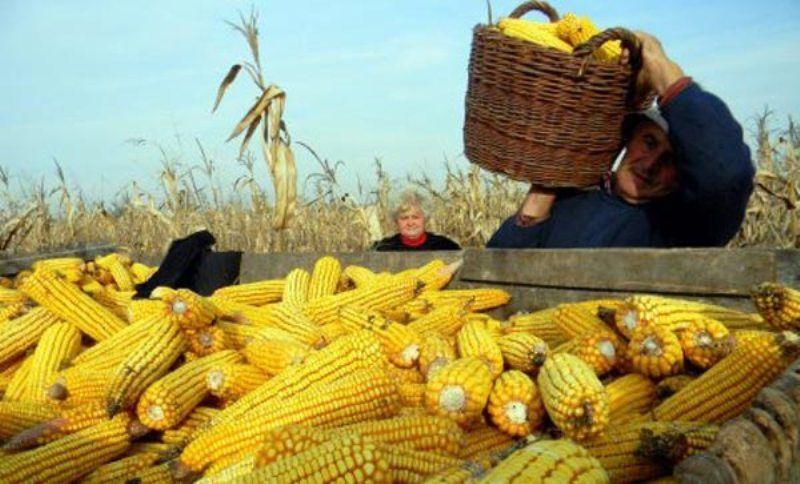 Berba kukuruza u jeku, prinos zadovoljavajući