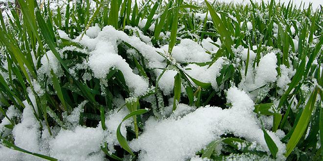 Stradale kajsije, pšenica bezbedna, šteta se procenjuje