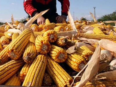 Država trampi kukuruz za prasad i telad