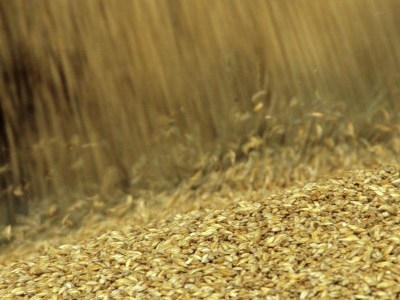 Imaćemo 40 odsto više pšenice