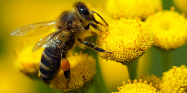 Bee deaths: EU to ban neonicotinoid pesticides