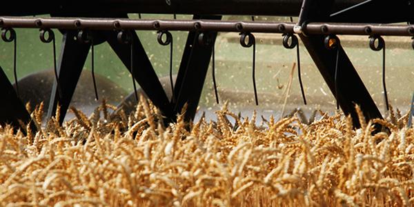 Robne rezerve nude 100.000 tona pšenice roda 2012.