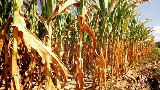 Suša zbrisala trećinu useva
