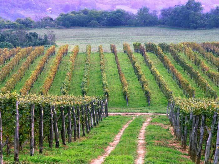 Manje vinograda u Vojvodini