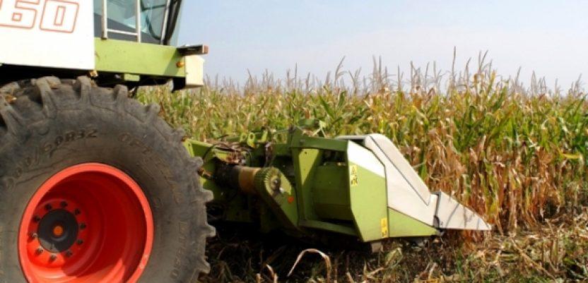 Ratari, ne žurite sa berbom kukuruza