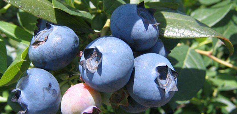 Bolji prinosi jagodastog voća uz holandsku podršku