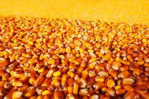 Robne rezerve otkupljuju merkatilni kukuruz od ponedeljka