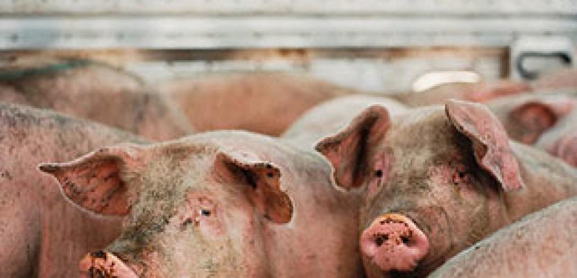 Poskupljuje svinjsko meso