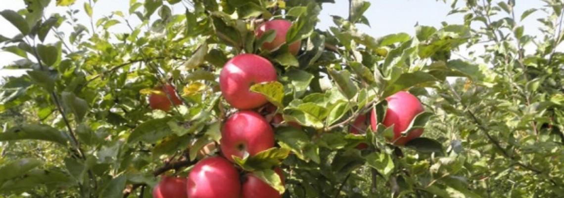 Rekordan rod jabuka, više i malina, jagoda i grožđa