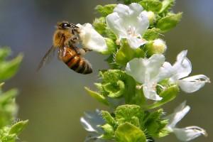 """Ukinuta """"pašarina"""" za pčele"""