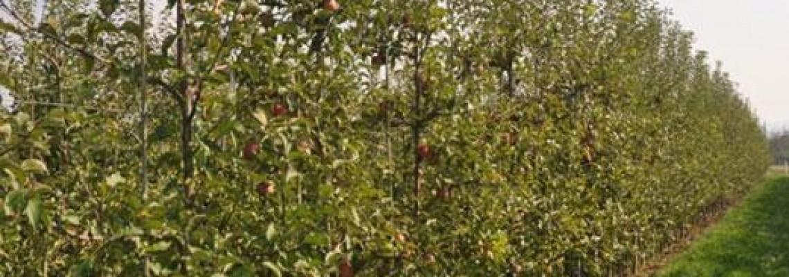Jabuke na 35 hektara u Apatinu