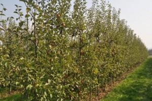 Za zasade voća država daje tri, za sadnice pola miliona dinara