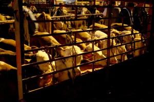 Hapšenja zbog švercovanja stoke