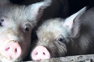 Uvedena naredba za sprečavanje afričke svinjske kuge