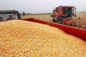Cena kukuruza i pšenice nepromenjena