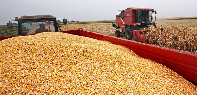 Robne rezerve kupuju dodatne količine merkantilnog kukuruza