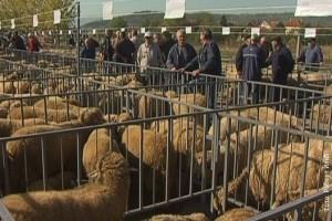 Izložba ovaca i mlečnih proizvoda