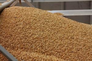 Pšenica u fokusu berzanskog trgovanja
