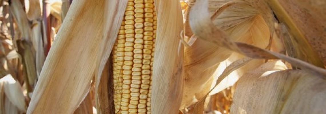 Kukuruz rodio pet tona po hektaru