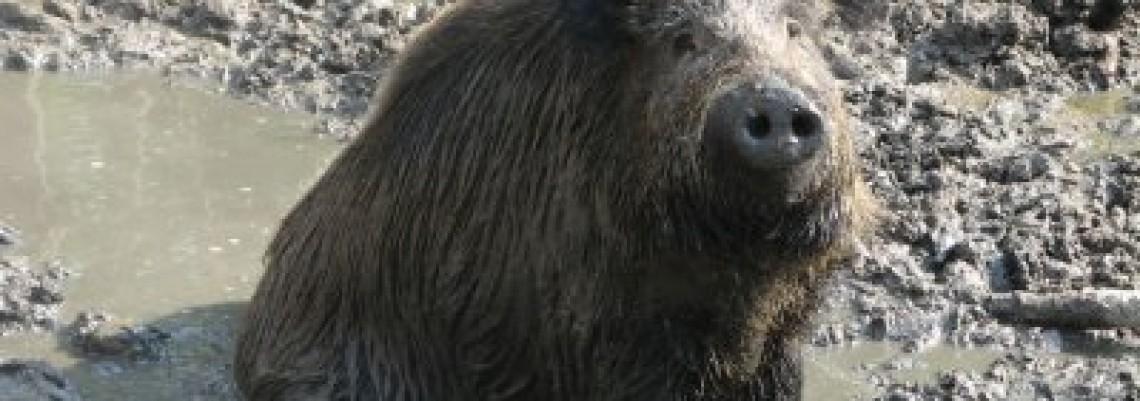 Trihineloza u Paraćinu, ali samo kod divlje svinje