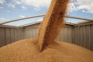 Razmena 10.000 tona merkantilne za semensku pšenicu