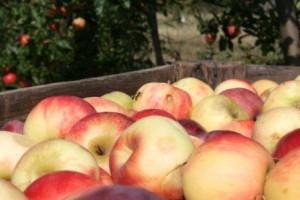 Dobra cena jabuke, ali naplata kasni
