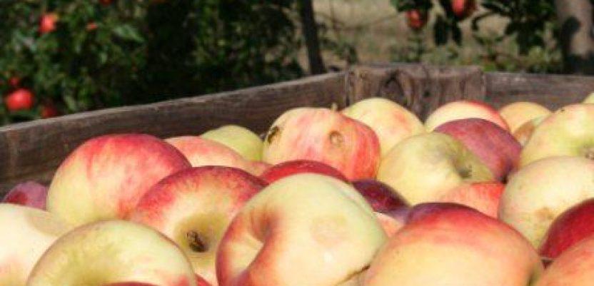 Proizvođačima jabuka izvoznici duguju milione