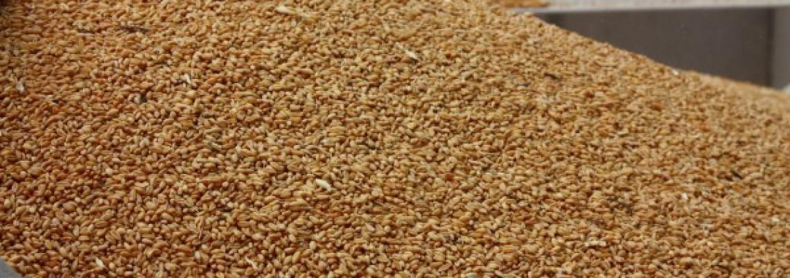 Rekordan izvoz brašna i pšenice