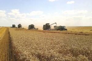 Pšenici pada kvalitet i cena
