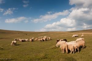 Pešterska vuna čeka Engleze