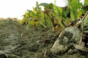 Srbija uskoro i kao uvoznik šećera?