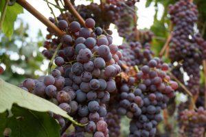 Neophodno unaprediti konkurentnost domaćih vinara