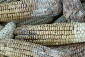 Aflatoksin u dva od 426 uzoraka kukuruza