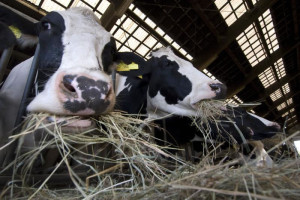 Zeleni plan EU smanjuje udeo stočarstva u poljoprivredi
