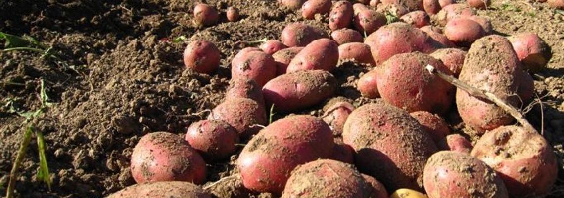 CG vratila srpski krompir pun moljaca