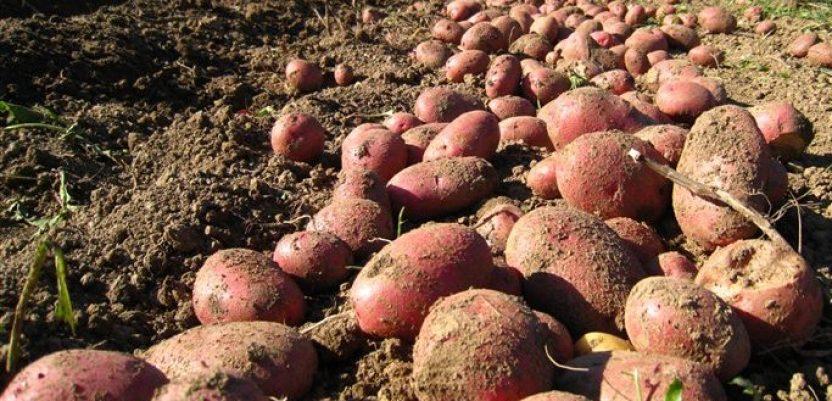 U toku vađenje krompira, prinos iznad proseka