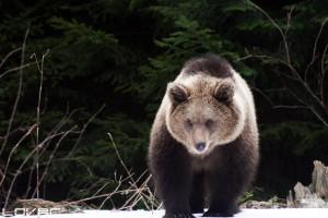 Crno se piše mrkim medvedima