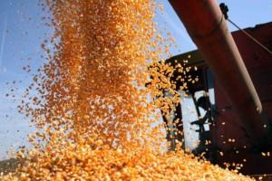 Izvoz kukuruza smanjen za 90 odsto