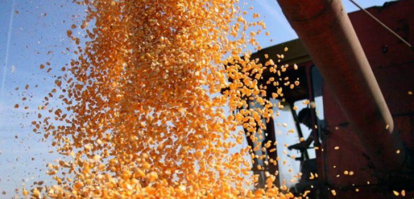 Izvoznici na gubitku zbog rasta cena kukuruza