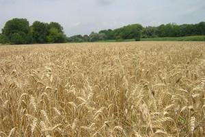 """Skok cene pšenice, """"zaliva"""" je SAD kiša"""