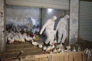 Karantin na farmama živine zbog ptičjeg gripa
