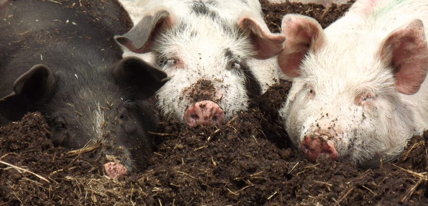 Afrička svinjska kuga izbila i u Slovačkoj