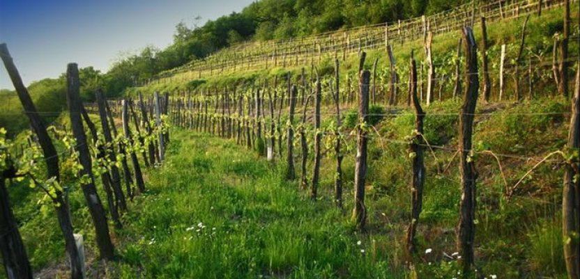 Vinarstvo – ozbiljna poluga ekonomskog razvoja Srbije