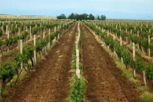 Najveći zasad vinove loze u Srbiji podigle zadrugarke
