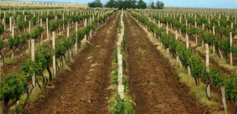 Donet Pravilnik o podsticajima za podizanje vinograda