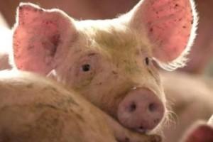 Cena žive vage svinja bez većih oscilacija