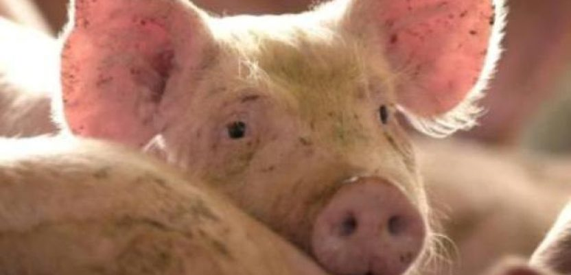 Suša će povećati cenu svinja