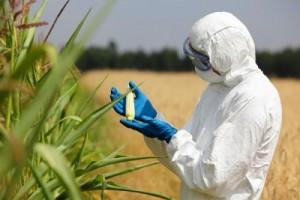 GM kukuruz osvaja EU